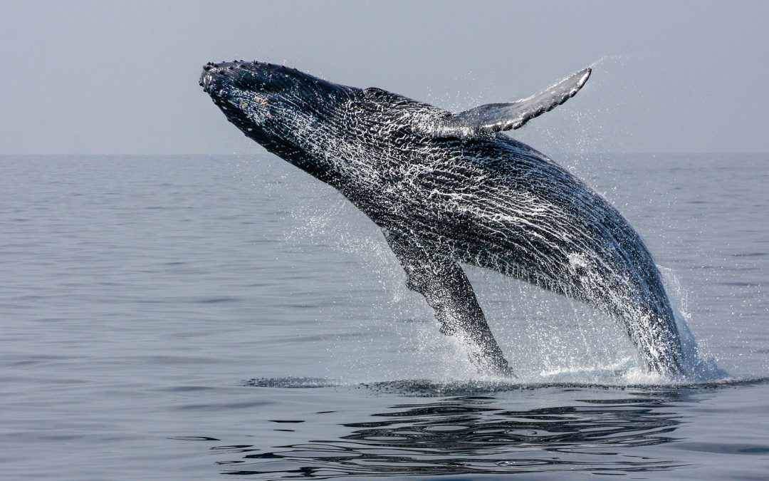 Helpful Tips for Winter Whale Season in Cabo San Lucas are provided by Grand Solmar Resort and Spa.